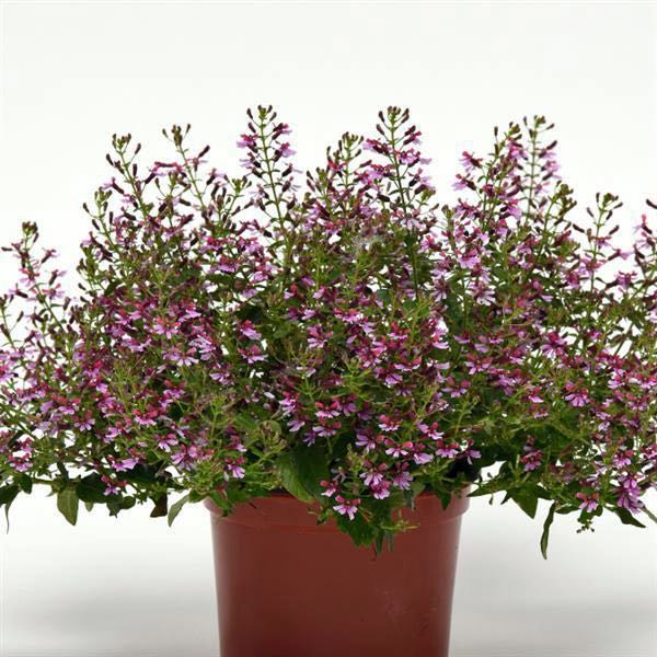 Pink Shimmer cuphea flowers