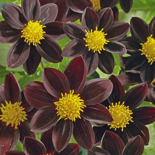 Dahlia Black Beauty flower garden seeds.