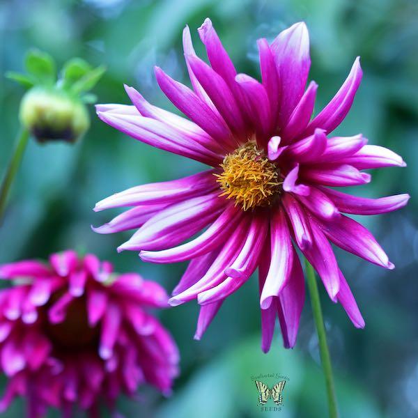 Dahlia Cactus Flowered Hybrids flower garden seeds.