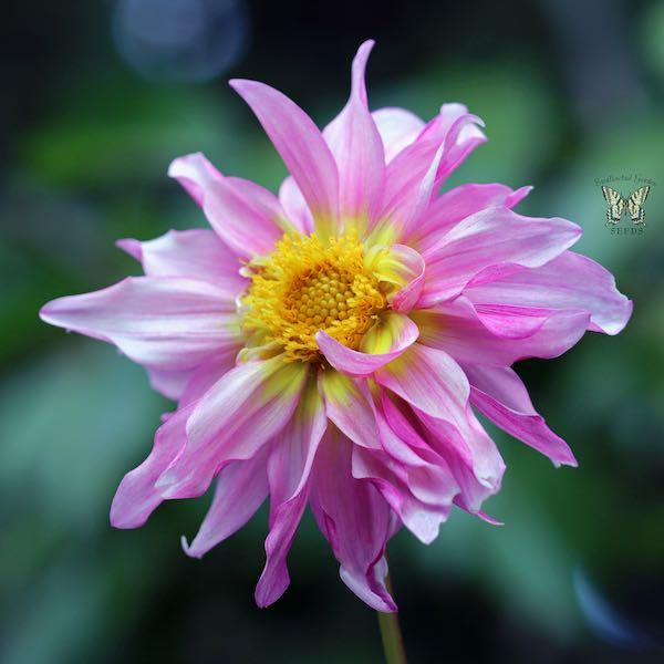 Cactus Flowered Hybrids dahlia pink flower