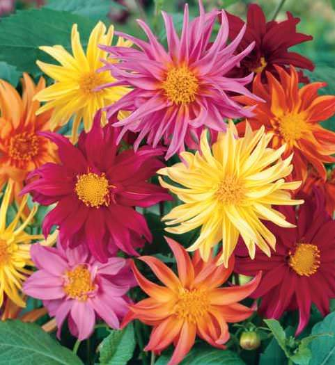 Cactus Flowered Hybrids dahlia seeds
