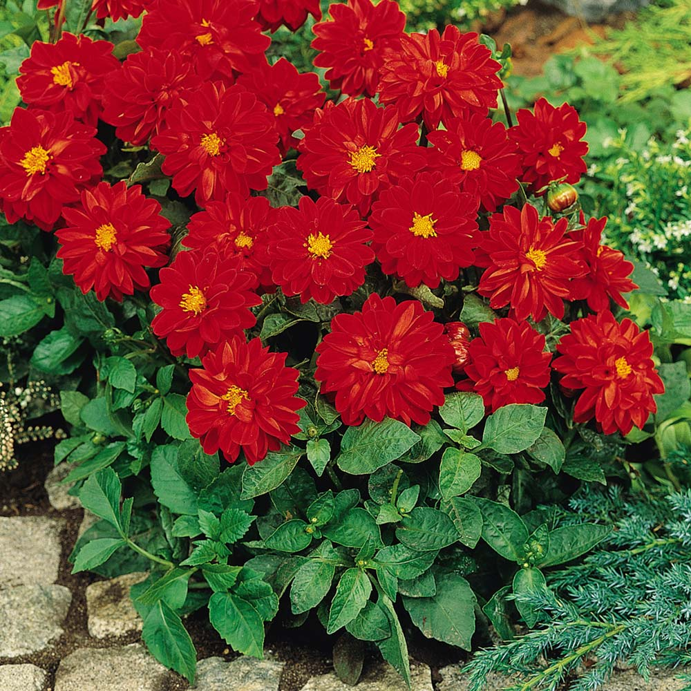 Figaro Red Shades dahlia seeds
