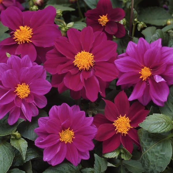 Dahlia Figaro Violet garden seeds - annual flower seeds.