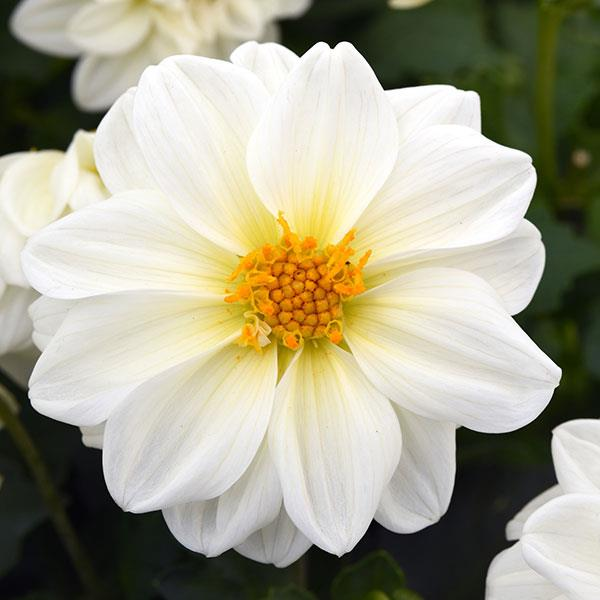 Figaro White dahlia seeds