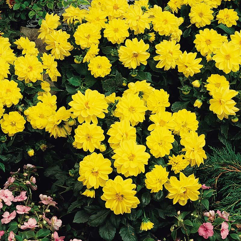 Dahlia Figaro Yellow Shades flower garden seeds.