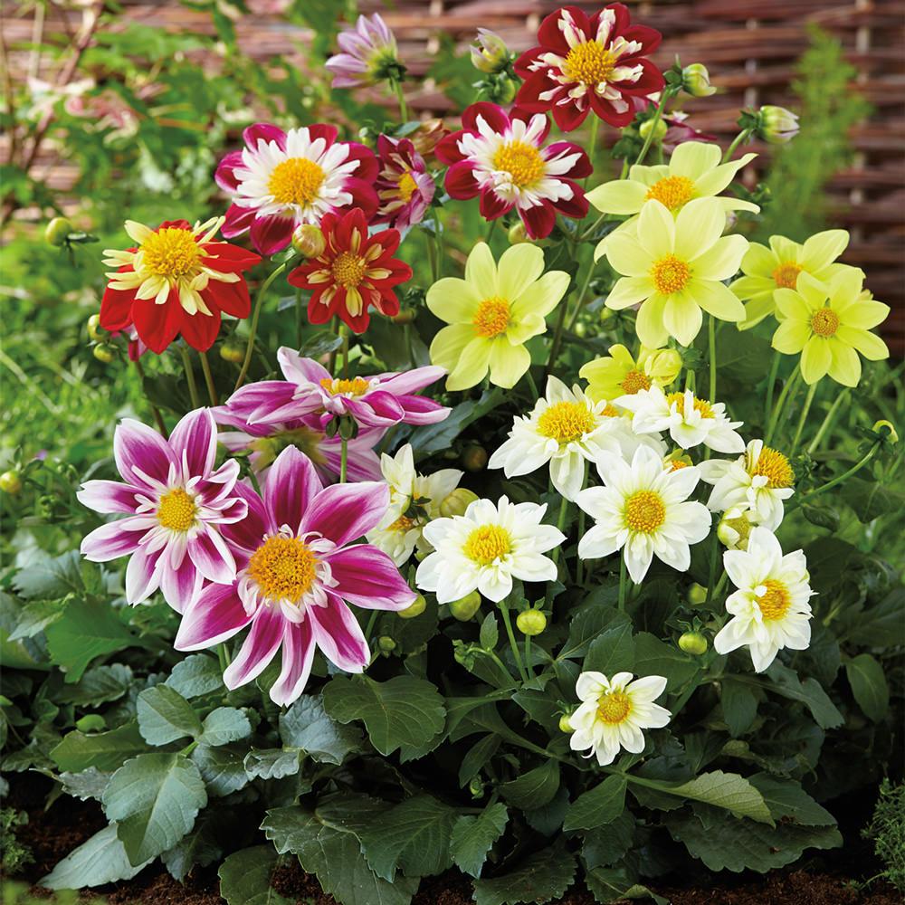 Dahlia Harlequin flower seeds.