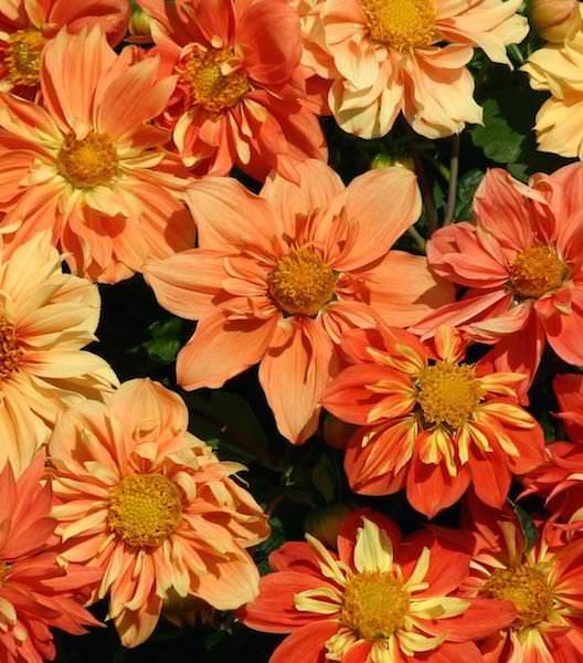 Sunny Reggae dahlia seeds
