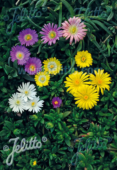 Ice Plant Hybrid Mix - Delosperma - Perennnial Ground Cover Seeds