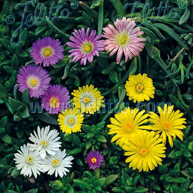 how to grow delosperma from seed