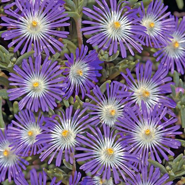 Ice Plant Seeds Hardy Ice Plants Perennial Ground