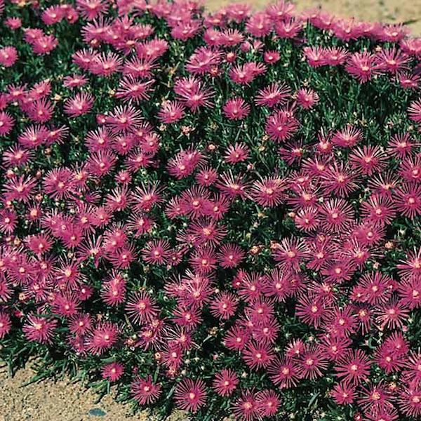Ice Plant Table Mountain - Delosperma cooperi