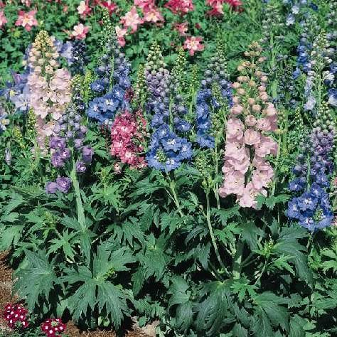 Delphinium Magic Fountains Mix - perennial flower seeds