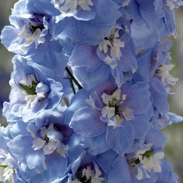 Delphinium Magic Fountains Sky Blue/White Bee - perennial flower seeds