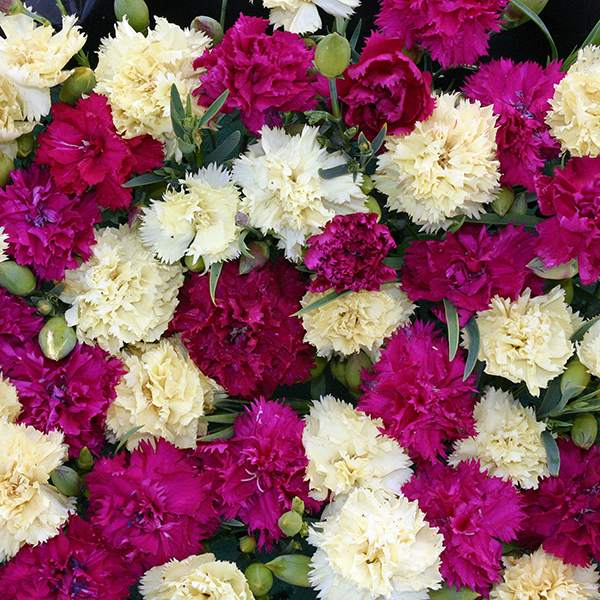 Carnation Bananaberry Fizz - Dianthus caryophyllus