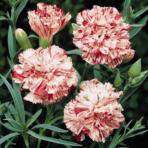 Carnation Chabaud Giant Benigna - Dianthus caryophyllus