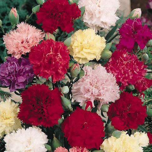 Carnation Chabaud Giant Mix - Dianthus caryophyllus