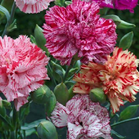 Carnation Chabaud Giant Picotee Fantasy Mix - Dianthus caryophyllus