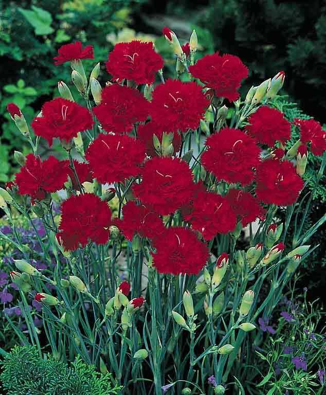 Carnation Grenadin Cardinal - Dianthus caryophyllus