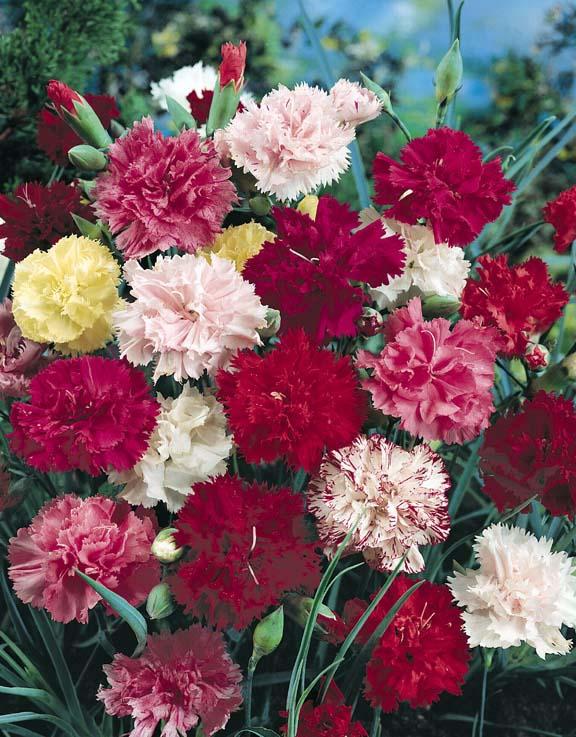 Carnation Grenadin Mix - Dianthus caryophyllus