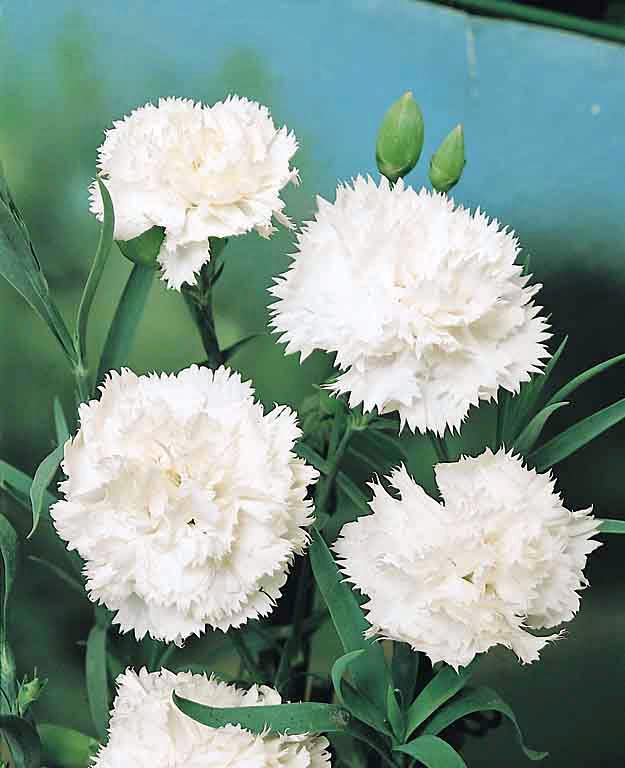 Dianthus Seeds | 13 Varieties | Swallowtail Garden Seeds