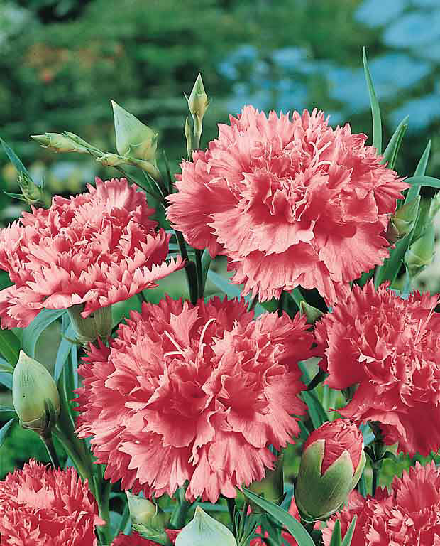 Carnation Grenadin Texas Rose - Dianthus caryophyllus