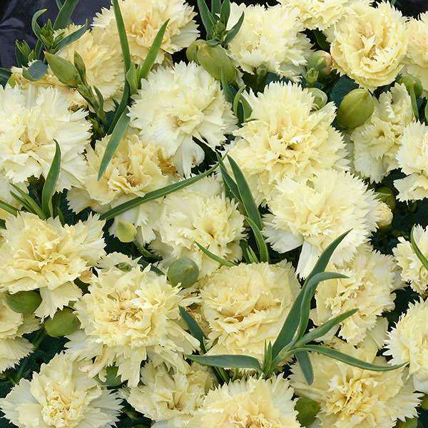 Carnation Lemon Fizz - Dianthus caryophyllus