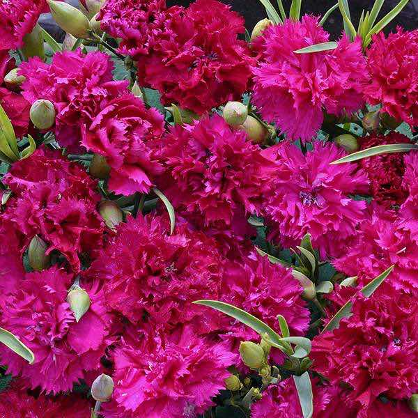 Carnation Magenta Fizz - Dianthus caryophyllus