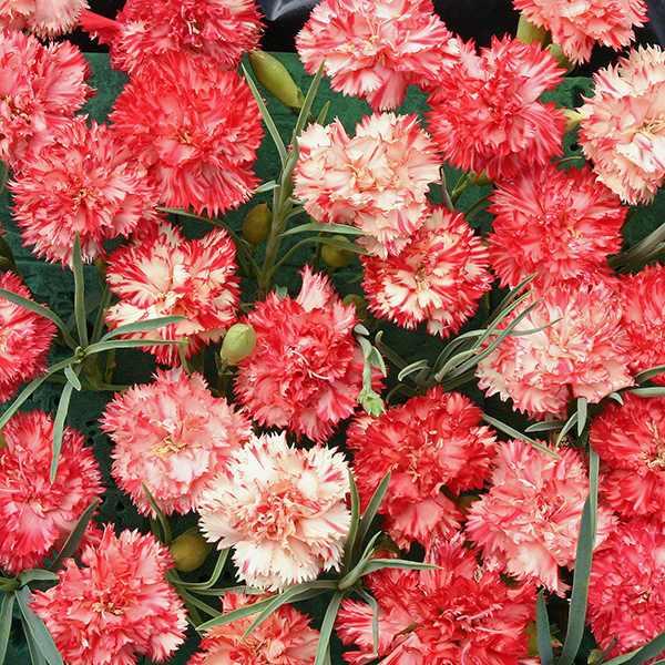 Carnation Orange Ripple - Dianthus caryophyllus