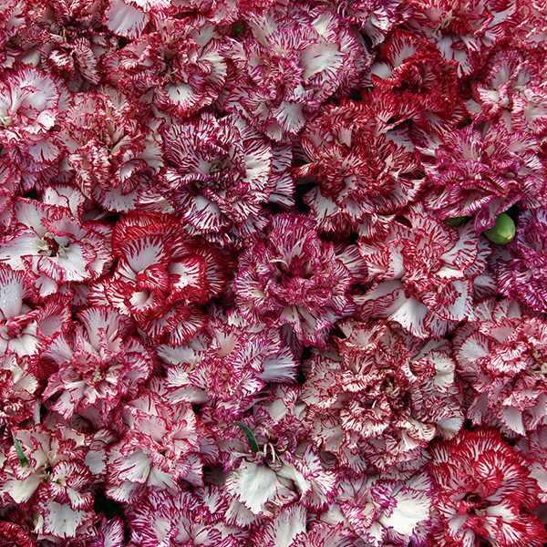 Carnation Raspberry Ripple - Dianthus caryophyllus