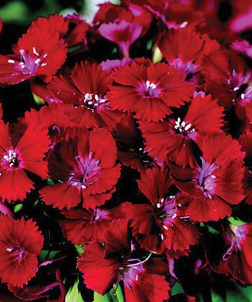 Sweet William Barbarini Red - Dianthus barbatus