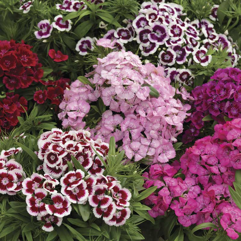 Diabunda Mix sweet william seeds