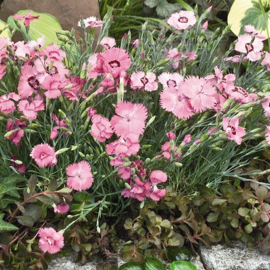 Dianthus Flavora Rose Shades - Dianthus gratianopolitanus - cheddar pinks