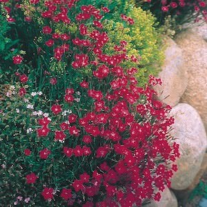 Dianthus Brilliant - Maiden Pink - Dianthus deltoides