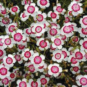 Dianthus Arctic Fire - Maiden Pink- - Dianthus deltoides
