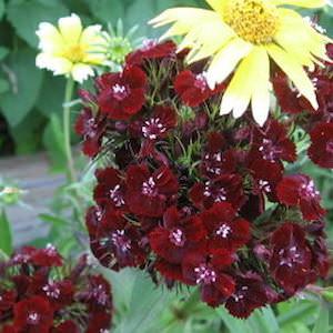 Sweet William Sooty - Dianthus barbatus