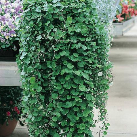 Emerald Falls dichondra seeds