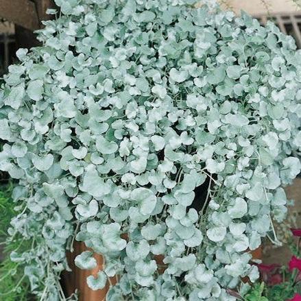 Silver Falls dichondra seeds