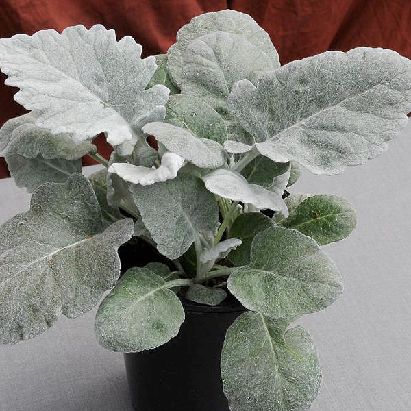 New Look Dusty Miller Seeds Annual Flower Seeds