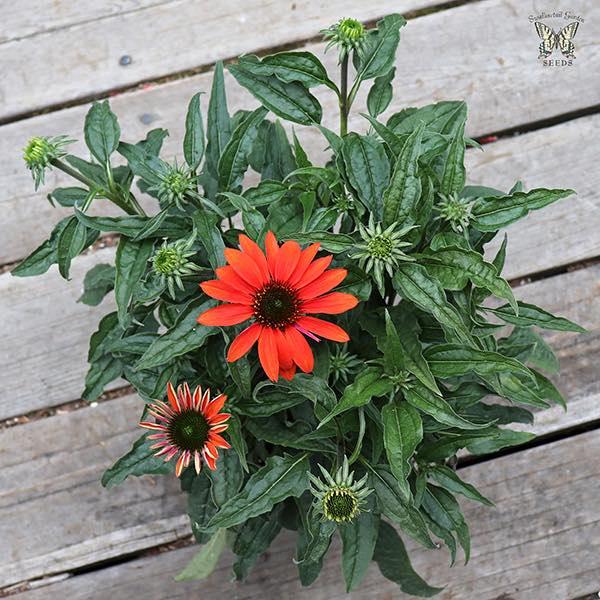 Echinacea Hybrida Cheyenne Spirit