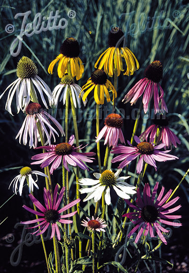 Coneflower Mix Echinacea seeds