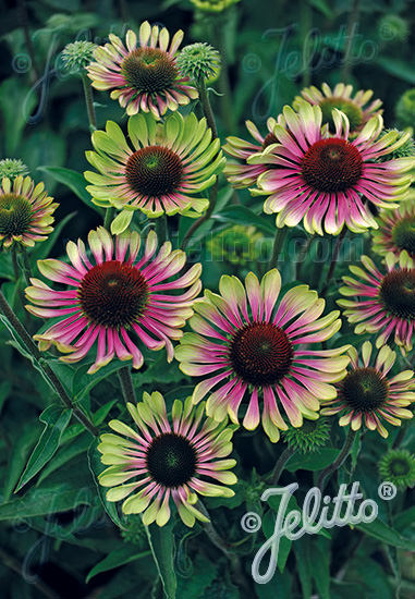 Green Twister Echinacea seeds