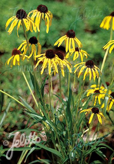 Yellow Coneflower - Echinacea paradoxa
