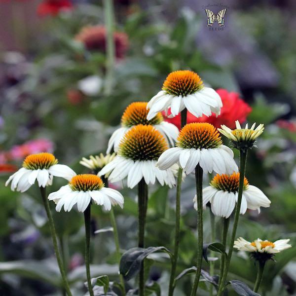 PowWow White Echinacea seeds