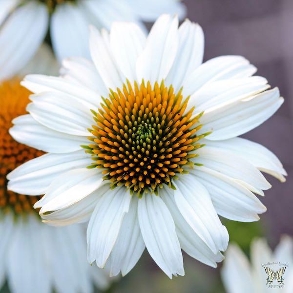 Echinacea PowWow white - Echinacea purpurea