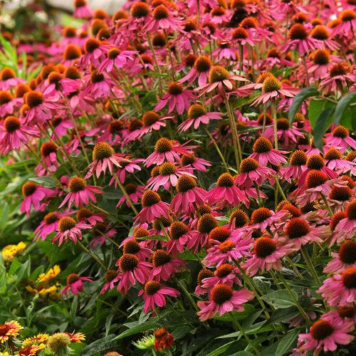Echinacea PowWow Wild Berry - Echinacea purpurea
