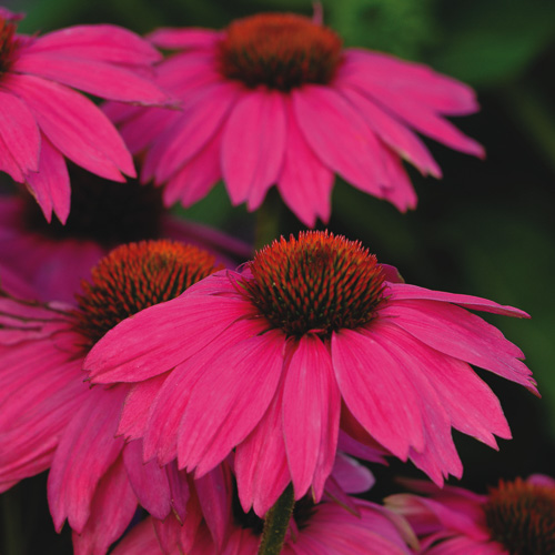 Echinacea: Echinacea PowWow Wild Berry Photo - Perennial Flower Seeds