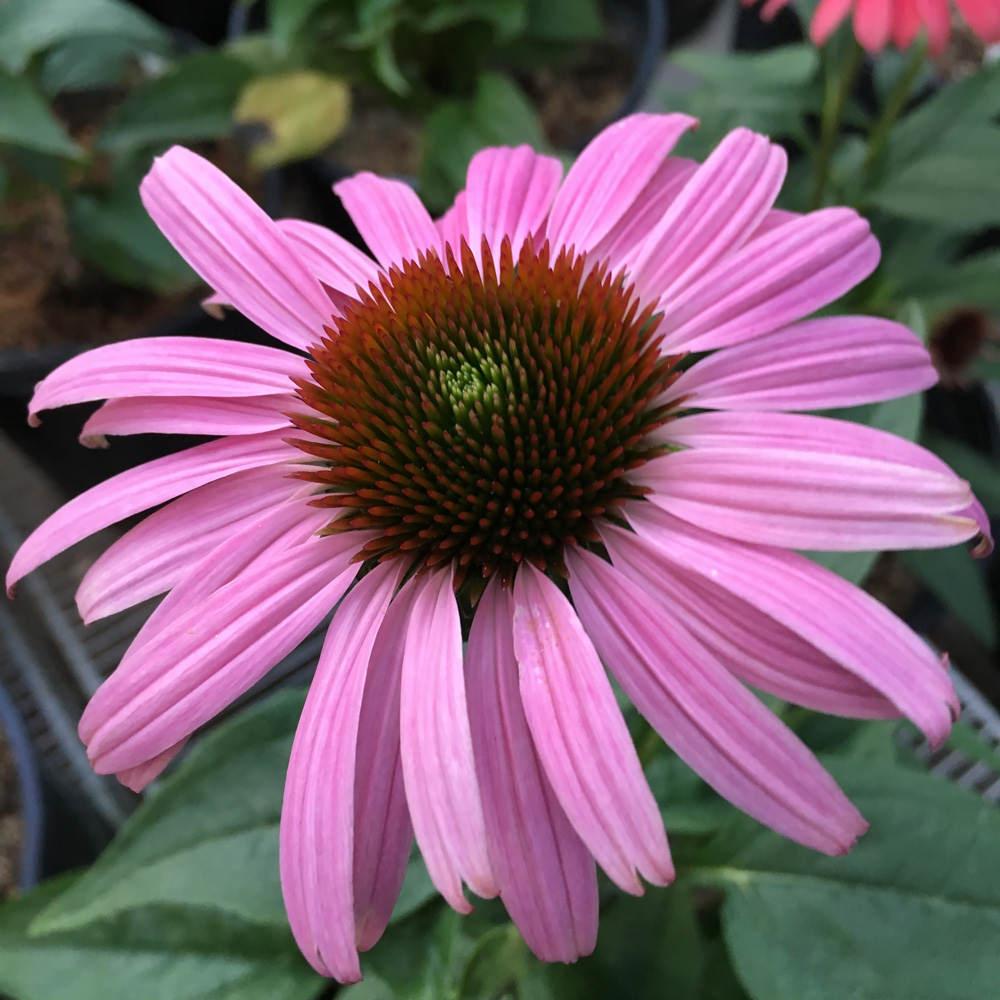 Prairie Splendor Deep Rose echinacea