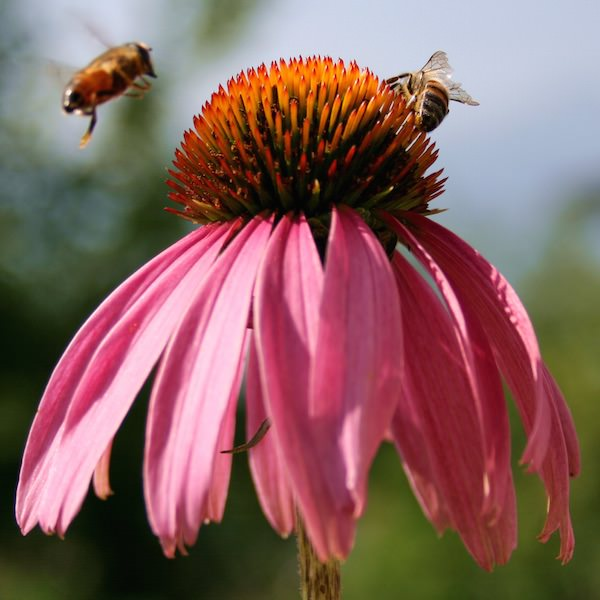 Echinacea purpurea - Purple Coneflower - Perennial Flower Seeds