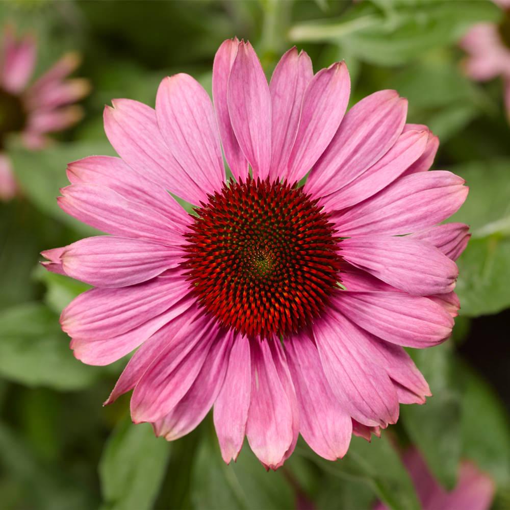 Echinacea Rose Compact Prairie Splendor