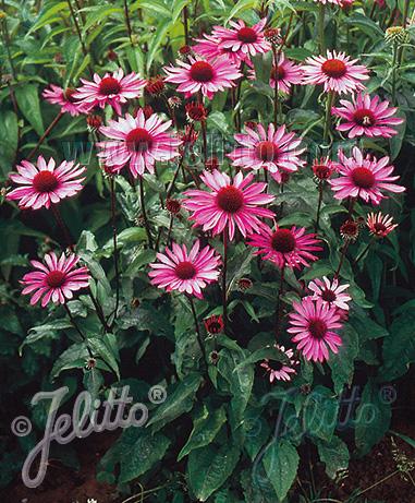 Echinacea Ruby Star